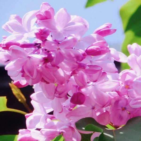 ライラック(リラ)の花
